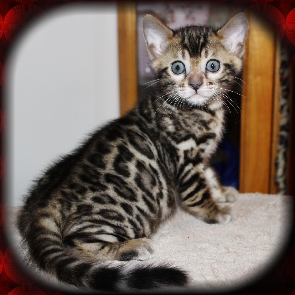 Bengalglitz Bengal Cats Kittens Mansfield Ohio Area Spotted